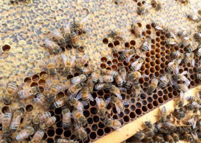Mesilased toimetamas